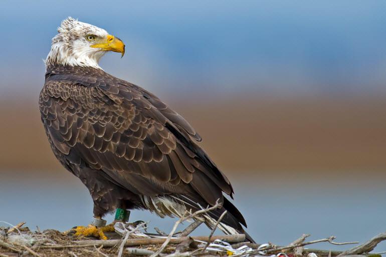 Eagle at John Heinz National Wildlife Refuge at Tinicum