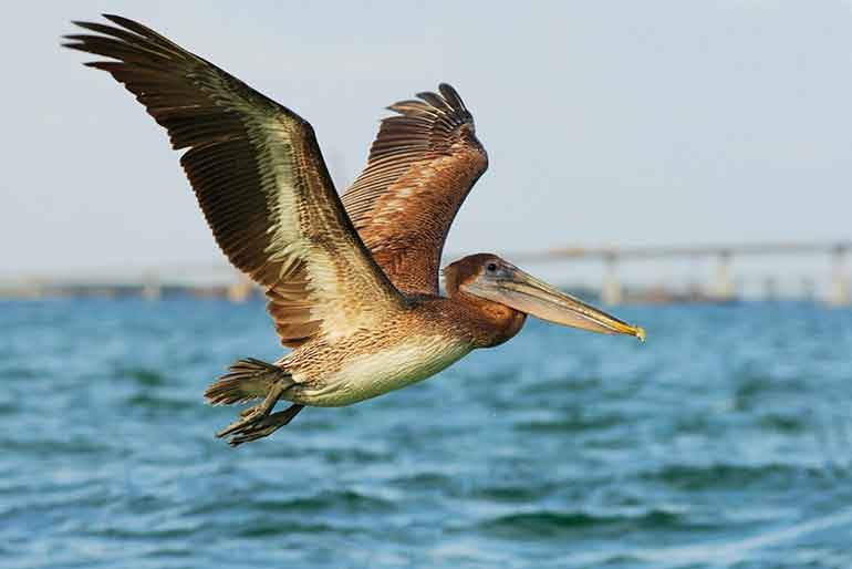pelican flying over the ocean in corpus christi texas