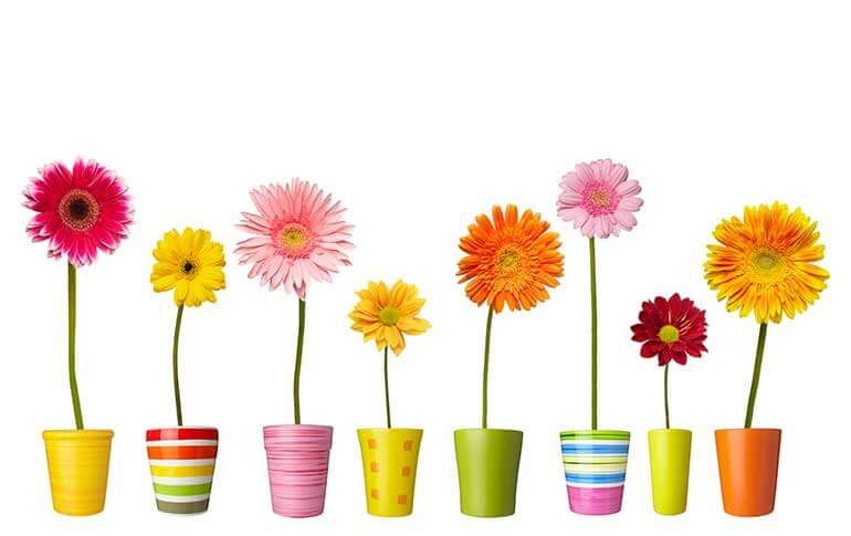 Gerber daisies rank #3 for the best air cleaning plants