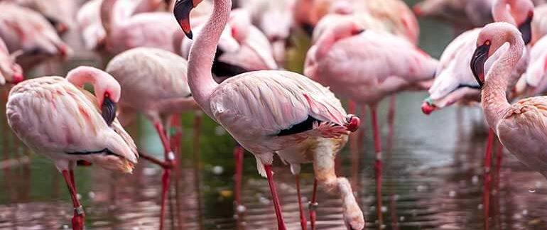 Flock of Pink Flamingos