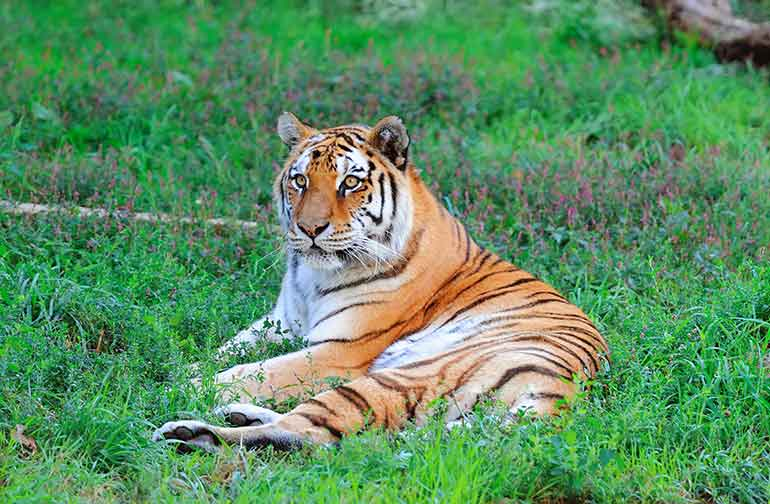 Tiger laying down in grass at Chicago's Lincoln Zoo